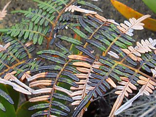 DSC00367 dead pteridium 4 color