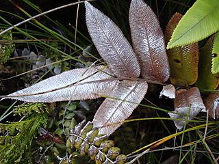 DSC00354 silver ferns mult