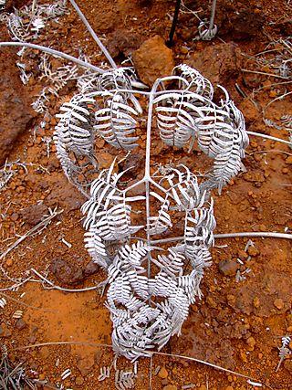 DSCF6079 dead pteridium