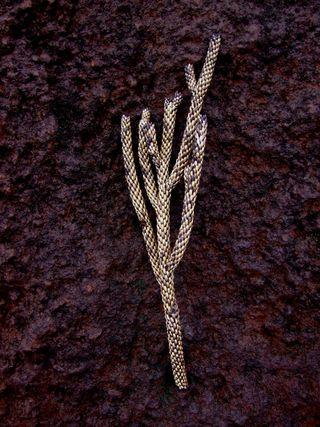 DSCF6510 Dacrydium araucarioides