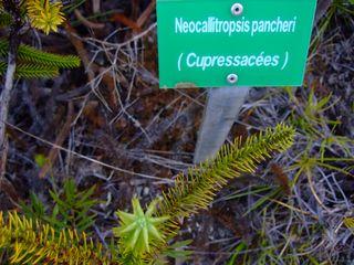 DSCF6276 Neocallitropsis pancheri