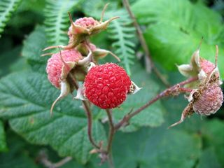 Thimbleberry 1